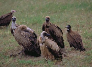 what do vultures eat