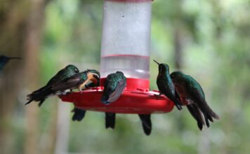 green-hummingbirds