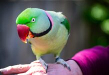 selective photography of green rose ring parakeet